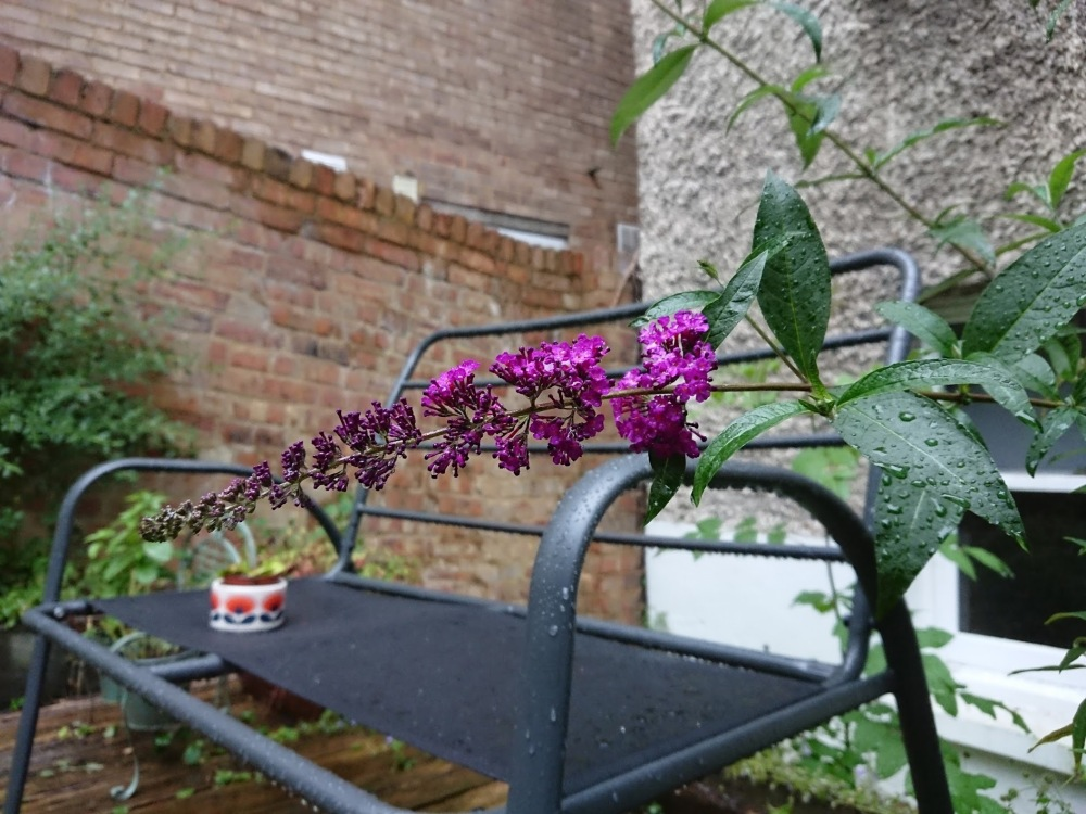 Buddleja rain leaves